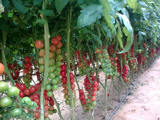 Cherry-tomatoes-in-a-greenhouse